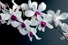 Blumenorchidee Lizenzfreies Stockfoto