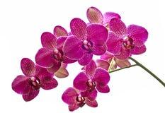 Blumenorchideen Lizenzfreies Stockbild