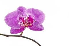 Blumenorchideen Stockbild