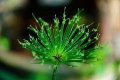 Blumenpapyrus Lizenzfreies Stockfoto