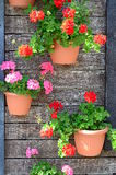 Blumenpelargonie Stockfoto