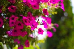 Blumenpetunie lizenzfreie stockbilder