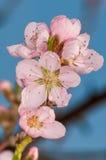 Blumenpfirsiche Lizenzfreie Stockfotografie