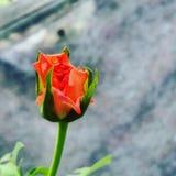 Blumenphotographie Stockbild