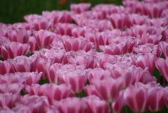 Blumenpracht en Keukenhof Foto de archivo libre de regalías
