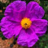 Blumenpurpur Stockfoto