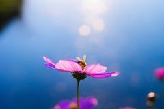 Blumenrimlight und -biene stockbilder