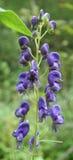 Blumenringkämpfer Aconitum Stockfoto