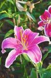 Blumenrosa Stockbilder