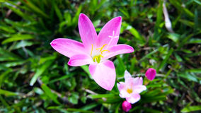 Blumenrosa lizenzfreie stockfotografie