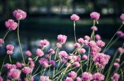 Blumenrosa Stockfotos