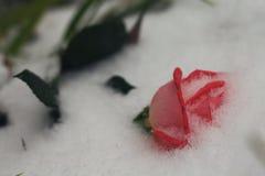Blumenrose bedeckt mit Schnee Winter kam Makro lizenzfreie stockbilder