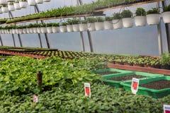 Blumensämlinge eigenhändig gepflanzt im Gewächshaus Lizenzfreie Stockfotos