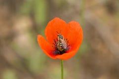 Blumensaat-mohn Stockbild