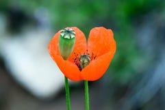 Blumensaat-mohn Lizenzfreies Stockbild
