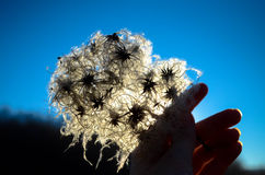 Blumenschattenbild Lizenzfreie Stockfotografie