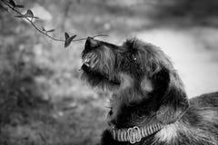 Blumenschwarzweiss-Abschluss Dachshundschnüffelns Untersuchungsbetriebsoben stockbild
