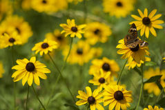 Blumensommer des blauen Auges mit Schmetterling stockfoto