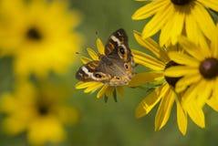Blumensommer des blauen Auges mit Schmetterling lizenzfreie stockfotografie