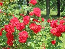 Blumensommerlandschaftshintergrund mit roten Rosen Stockfotografie