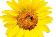 Blumensonnenblume und -hummel Stockfotografie