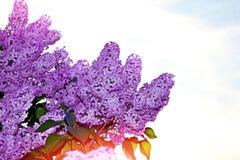 Blumensträuße der Flieder Stockfotografie