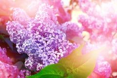 Blumensträuße der Flieder Stockbilder