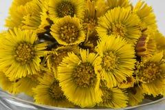 Blumenstrauß Colts-Fuß oder -Tussilago stockfotos