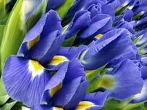 Blumenstrauß der blauen Blumen Blau-gelbe Irisnahaufnahme des Gartens Ausführliche vektorzeichnung Stockfotos