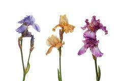 Blumenstrauß der Blendenblumen Lizenzfreie Stockfotografie