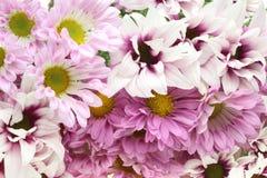 Blumenstrauß der Chrysantheme Stockfotografie