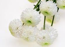 Blumenstrauß der Chrysantheme Stockfotos