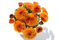 Blumenstrauß der Chrysantheme blüht auf einem weißen Hintergrund Lizenzfreie Stockfotos