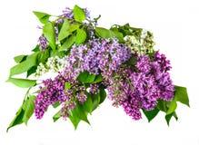 Blumenstrauß der Flieder Lizenzfreies Stockfoto