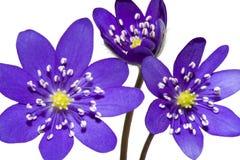 Blumenstrauß der Frühlingsgebirgspurpurblume Stockfotos