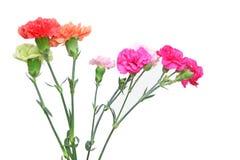 Blumenstrauß der Gartennelke in einem weißen Hintergrund stockbilder