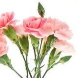 Blumenstrauß der Gartennelke lokalisiert auf Weiß lizenzfreie stockfotos
