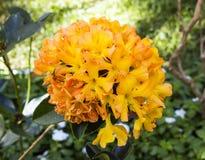 Blumenstrauß der gelben Azaleenblume Stockfotos
