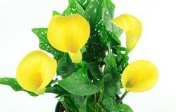 Blumenstrauß der gelben Calla-Lilie, Stockbild