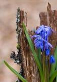 Blumenstrauß der Glockenblume auf einer hölzernen Barke, Waldzusammensetzung Stockbilder