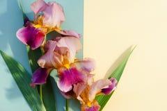 Blumenstrauß der hellen Iris auf einem gelben und blauen Hintergrund mit a Stockbilder