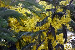 Blumenstrauß der hellen saftigen Frühlingsmimose lizenzfreie stockfotos