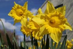Blumenstrauß der Narzissen Lizenzfreies Stockbild