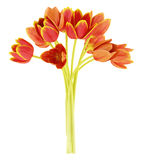 Blumenstrauß der orange Tulpen getrennt auf Weiß vektor abbildung