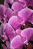 Blumenstrauß der Orchideen Lizenzfreies Stockbild