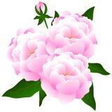 Blumenstrauß der Pfingstrosen Stockbild