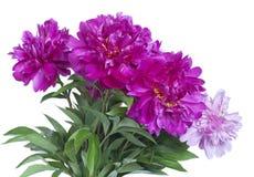 Blumenstrauß der Pfingstrosen Lizenzfreie Stockfotografie