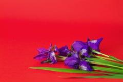 Blumenstrauß der purpurroten Iris blüht auf einem roten Hintergrund Stockfotos