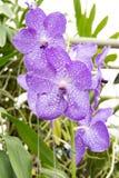 Blumenstrauß der purpurroten Orchideen (Vanda) Lizenzfreies Stockbild