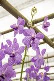 Blumenstrauß der purpurroten Orchideen (Vanda) Stockfotos